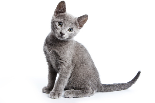 Fluffy gray kitten of a Russian blue cat (isolated on white) 858701710