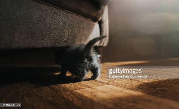 fluffy grey kitten crawls under a sofa, showing his tiny little tail and rear end. - hairy bum stock pictures, royalty-free photos & images