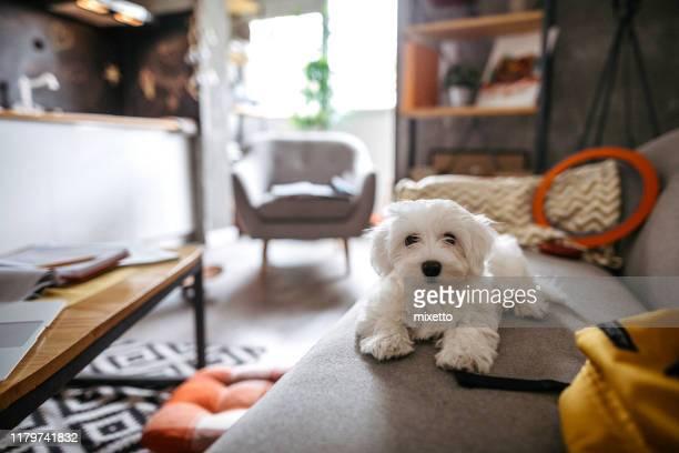 pluizig maltese hond zittend op de bank - wollig stockfoto's en -beelden