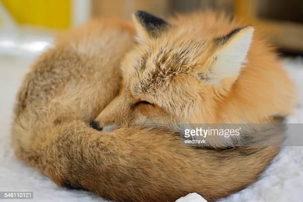 fluffy - fuchspfote stock-fotos und bilder