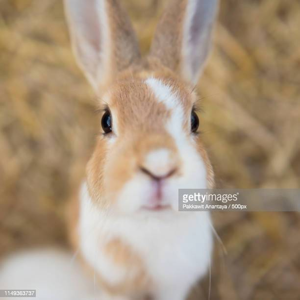 fluffy rabbit by top view - fuchspfote stock-fotos und bilder