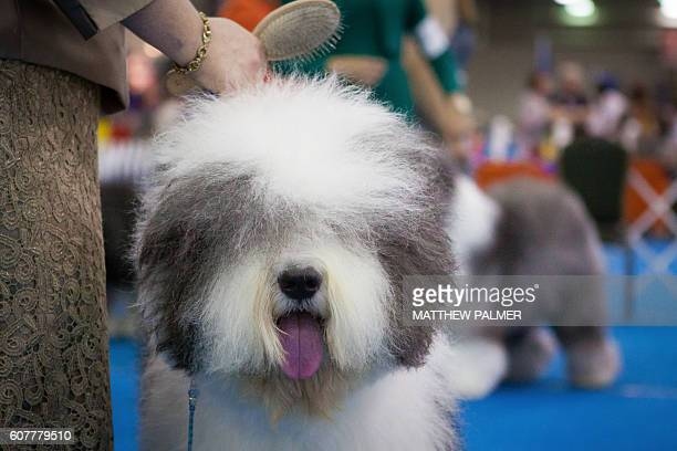 Fluffy show dogs