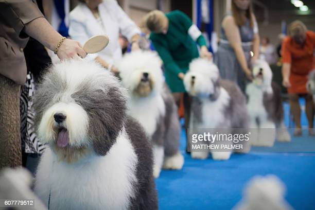 fluffy show dogs - dog show stock pictures, royalty-free photos & images