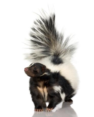 A fluffy striped skunk walking 93212524