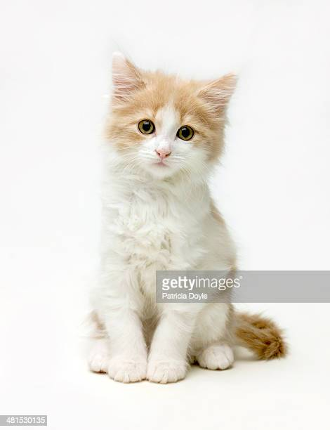 fluffy white and ginger cat - kitten stock pictures, royalty-free photos & images