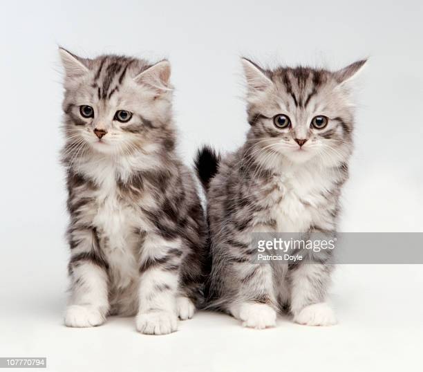 2 fluffy white and grey kittens - two animals stock pictures, royalty-free photos & images