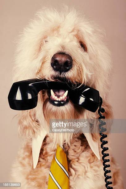 a fluffy white dog hiding a phone in its mouth - goldendoodle stock photos and pictures