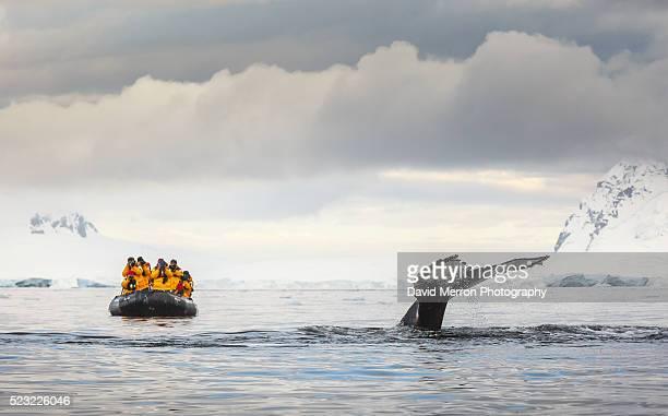 fluked - 南極 ストックフォトと画像