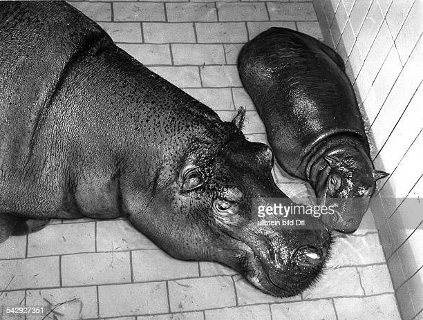 """Flusspferd """"Boulette"""" mit Nachwuchs im Berliner Zoo"""