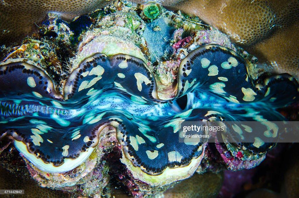 fluted giant clam bunaken sulawesi indonesia tridacna squamosa : Stock Photo