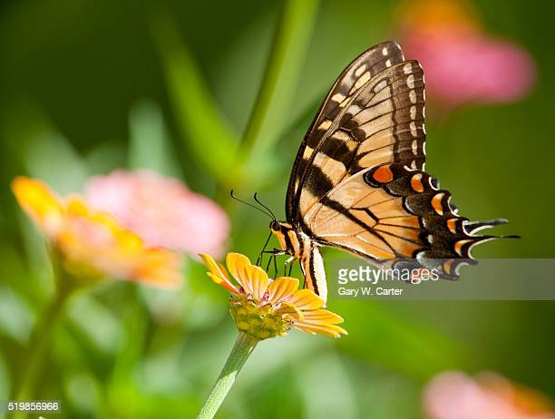 fluted swallowtail on flower - swallowtail butterfly stock pictures, royalty-free photos & images
