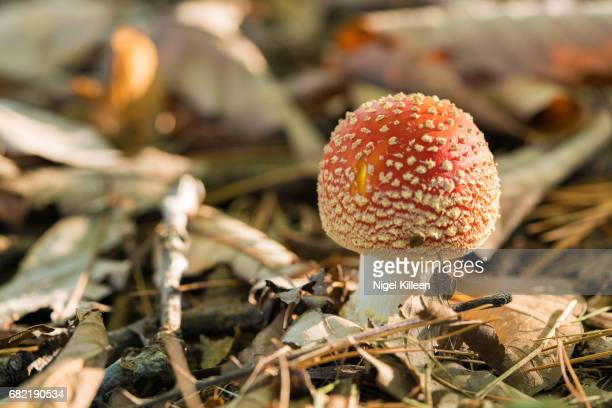 fly agaric mushroom - magic mushroom stock photos and pictures