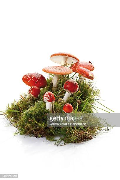fly agaric mushrooms (amanita muscaria) in patch of moss - poisonous mushroom stock photos and pictures