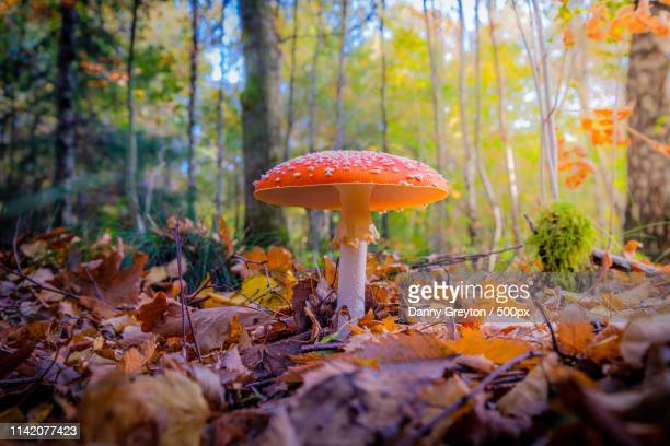 fly agaric - magic mushroom stock pictures, royalty-free photos & images