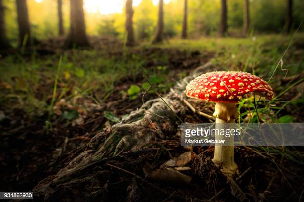 fly agaric - toadstool - magic mushroom stock pictures, royalty-free photos & images