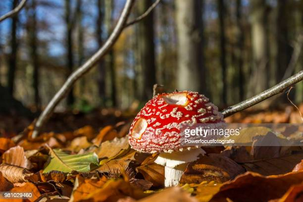 Fly Amanita on the forest floor