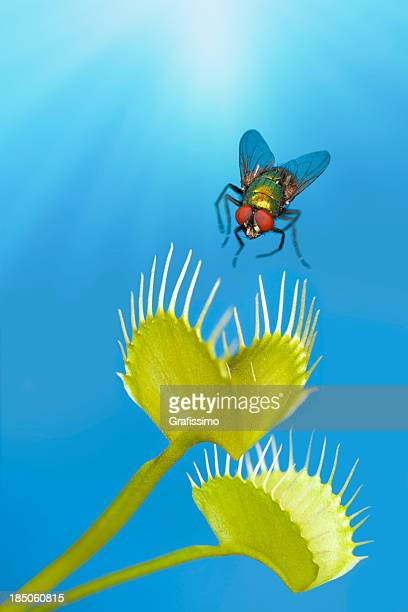 fly being trapped by venus flytrap plant - carnivorous stock pictures, royalty-free photos & images
