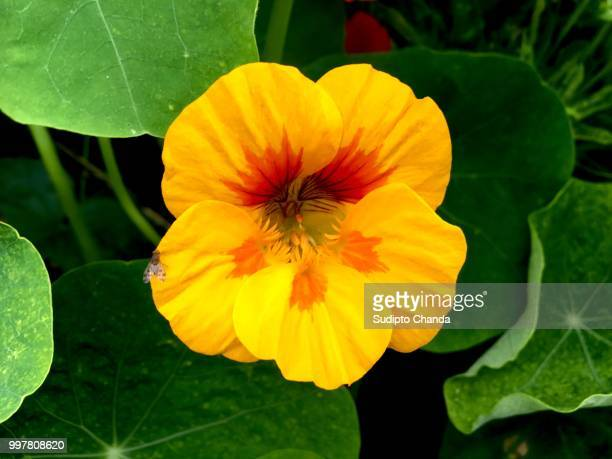 fly by - nasturtium stock pictures, royalty-free photos & images