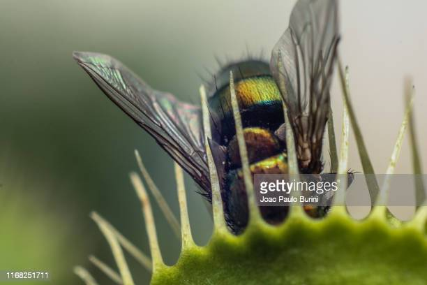 fly captured by a venus flytrap - carnivorous stock pictures, royalty-free photos & images