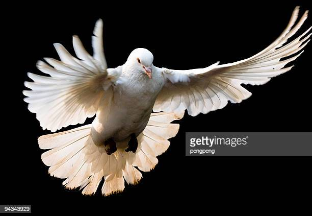 Fly dove with clipping path
