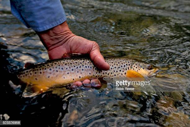 fly fisherman holding a trout in a stream - robb reece stock photos and pictures