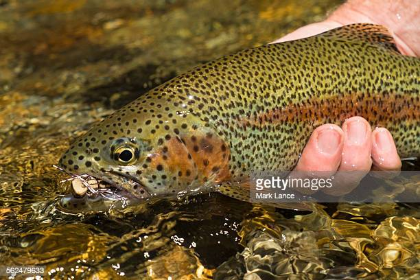 fly fishing patagonia, argentina - brown trout stock pictures, royalty-free photos & images