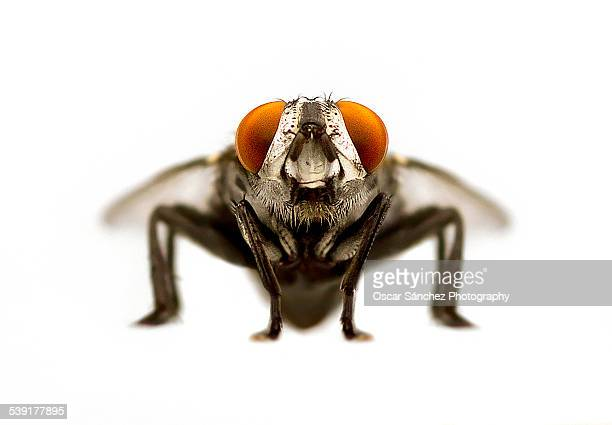 fly frontal view - housefly stock pictures, royalty-free photos & images