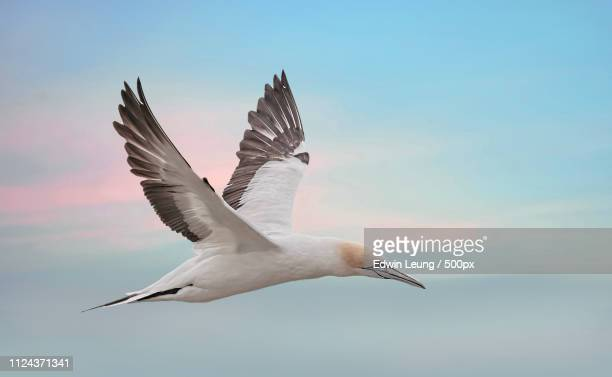 fly gannet, fly - gannet stock pictures, royalty-free photos & images