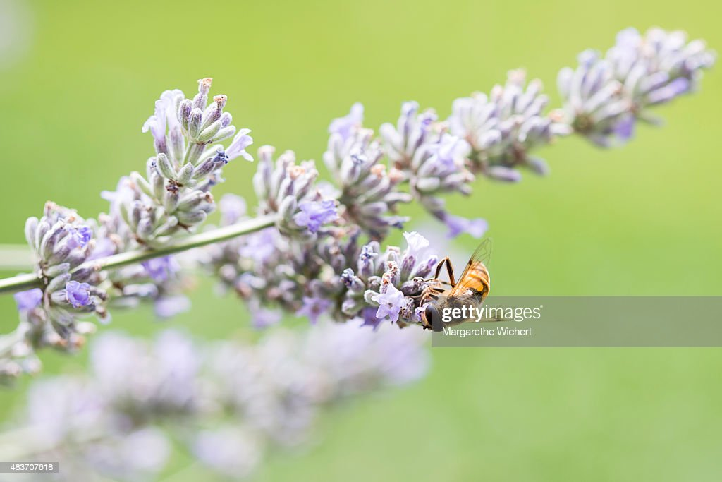 A fly gathers nectar from lavender flowers (Lavandula angustifolia) on August 1, 2015 in Obing, Germany.