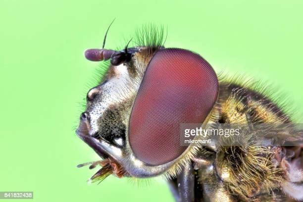 fly insect extreme close-up - bug eyes stock photos and pictures