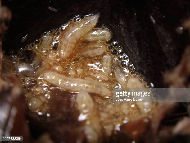 fly maggots on a decomposing animal - larva de mosca varejeira imagens e fotografias de stock