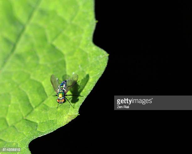 Fly on a leaf on black background creating abstract look and copy space