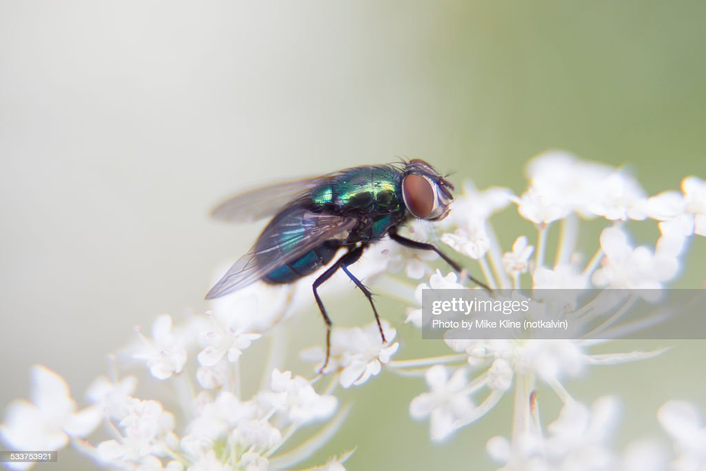 Fly on Queen Anne's Lace : Foto stock