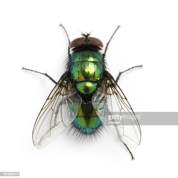 fly - housefly stock pictures, royalty-free photos & images