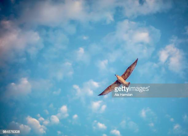 fly - hawk stock pictures, royalty-free photos & images