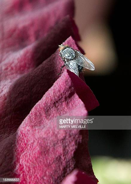 A fly sits on the Dracunculus Vulgaris lily displayed at the Wellington Botanic Garden in Wellington on October 12 2012 A 'grotesque' plant that...