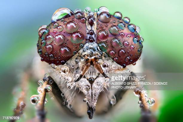 fly with dew drops on its eyes - bug eyes stock photos and pictures