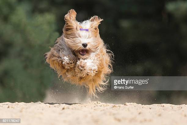 Fly with me..Havanese!