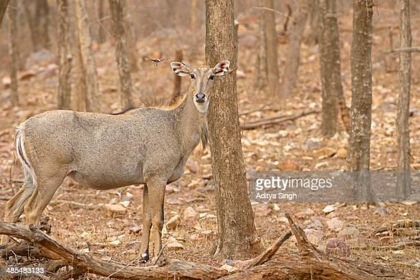 flycatcher and the antelope - nilgai stock photos and pictures