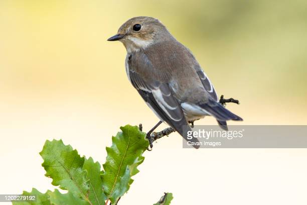 flycatchers (ficedula hypoleuca) perched on its hanger - nightingale stock pictures, royalty-free photos & images