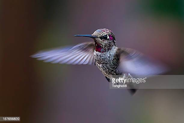 Flying Anna's Hummingbird