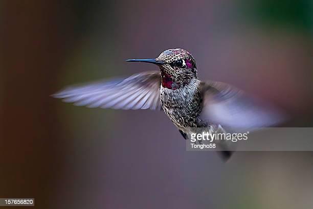 flying anna's hummingbird - beija flor imagens e fotografias de stock