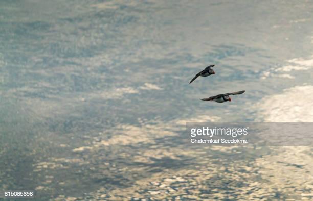 Flying Atlantic Puffin