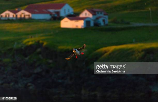 Flying Atlantic Puffin with fish