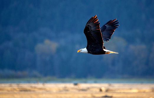Flying bald eagle in Harrison Mills, BC 1143554183