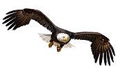 Flying Bald Eagle isolated on white background