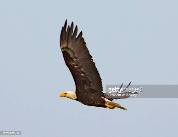 flying bald eagle - 一匹 ストックフォトと画像
