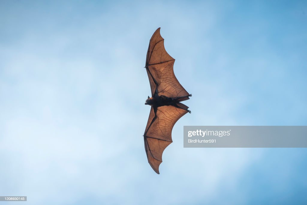 Flying bat on blue sky background : Stock Photo