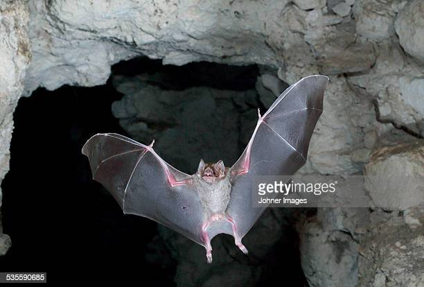 flying bat - bat animal stock pictures, royalty-free photos & images