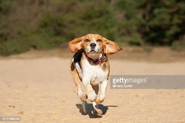Flying Beagle!